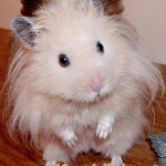 Hamster bear lông xù
