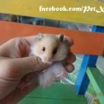 Hamster bear giá rẻ Gò Vấp TP. Hồ Chí Minh