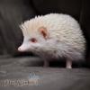 nhím kiểng trắng nhím trắng bạch tạng nhím albino