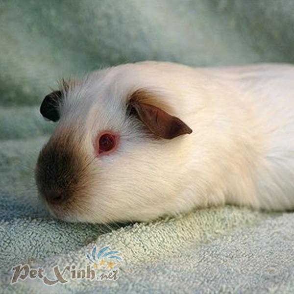 bọ ú Himalaya himalayan guinea pig