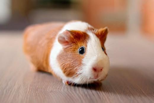 Bọ ú lông xù guinea pig giá rẻ tp hcm gò vấp