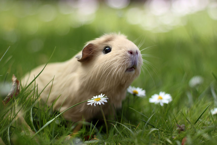Guinea pig English