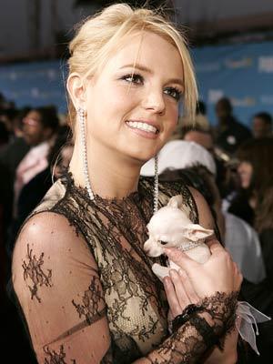 Britney spears cũng rất yêu quý chó chihuahua