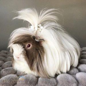 guinea pig coronet