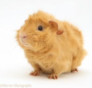 Các chủng loại guinea pig 1