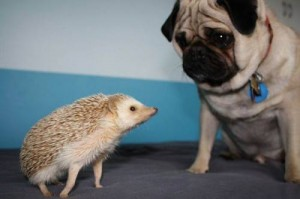 nhím kiểng và chó