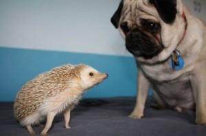 nhím kiểng và chó mèo