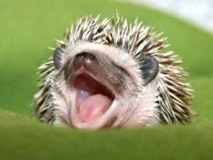 hedgehog teeth care
