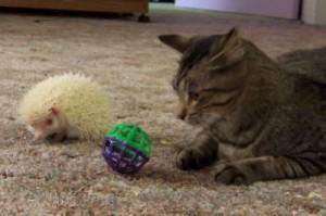 nhím kiểng và mèo