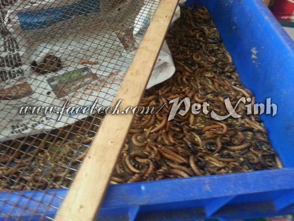 Sâu superworm tươi 1