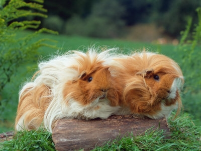 Guinea pig silky