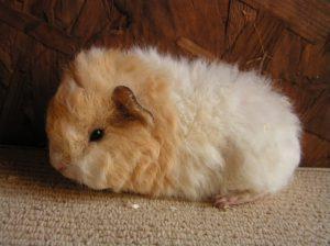 Guinea pig texel