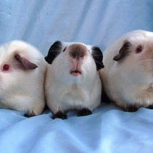 guinea pig Himalaya