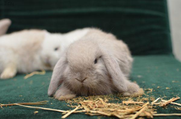 Thỏ kiểng mini lop