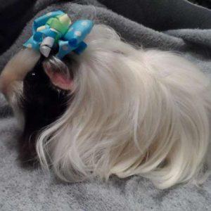 guinea pig peru