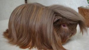 Các chủng loại guinea pig 4