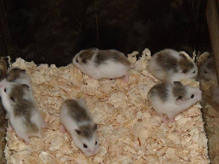 hamster robo pied (robo bò sữa)