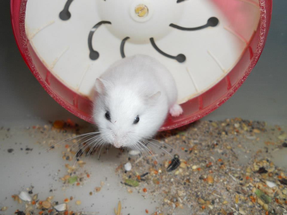 hamster robo platinum