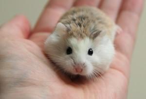 chuột hamster robo