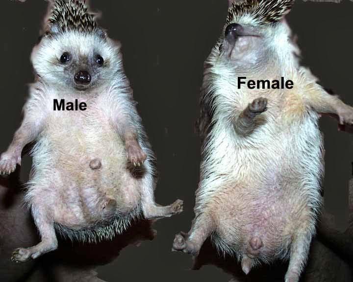 phân biệt nhím kiểng đực cái