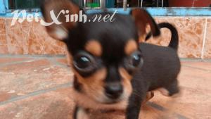 chó chihuahua đen mắt vàng baby giá rẻ tphcm