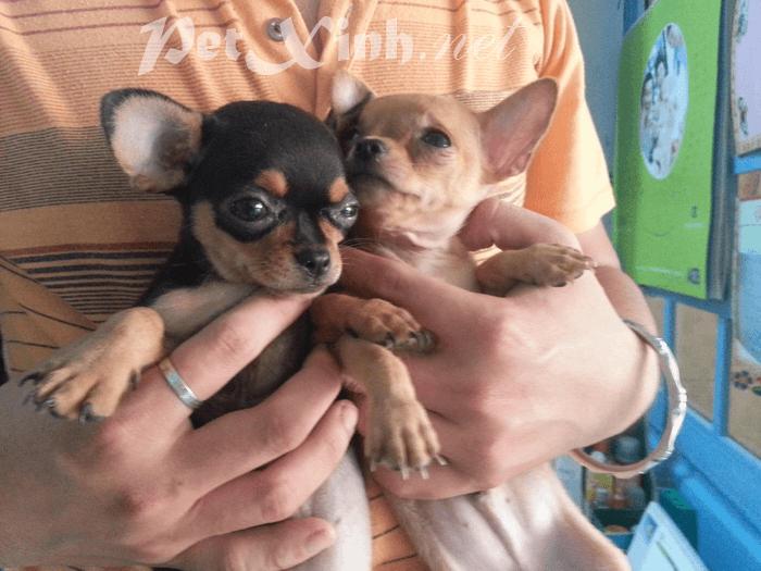 Bán chó chihuahua giá rẻ tphcm