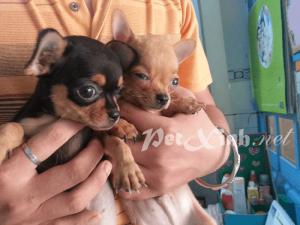 Bán 2 bé chihuahua baby cực xinh (update 24/02/2015) 1