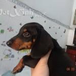 chó lạp xưởng xúc xích dachshund