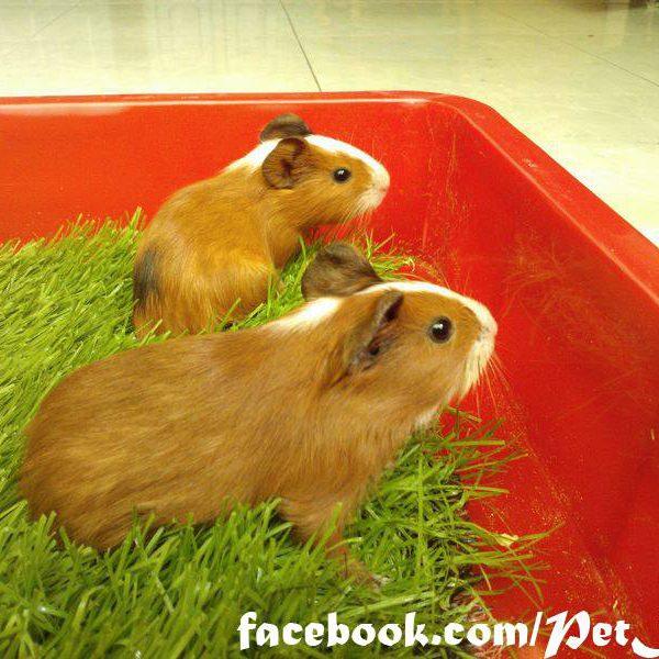 bọ ú lông xù, guinea pig tphcm