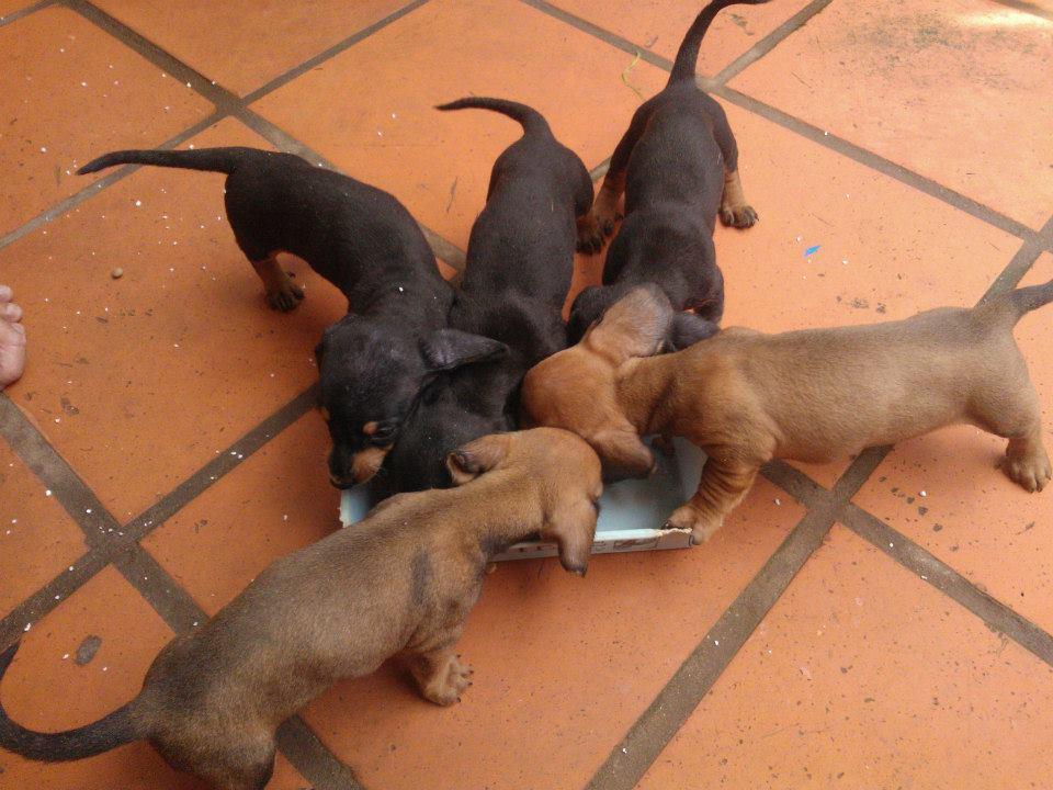 Xuất chuồng đàn Dachshund (chó lạp xưởng, chó xúc xích) [30/04/2016] 8