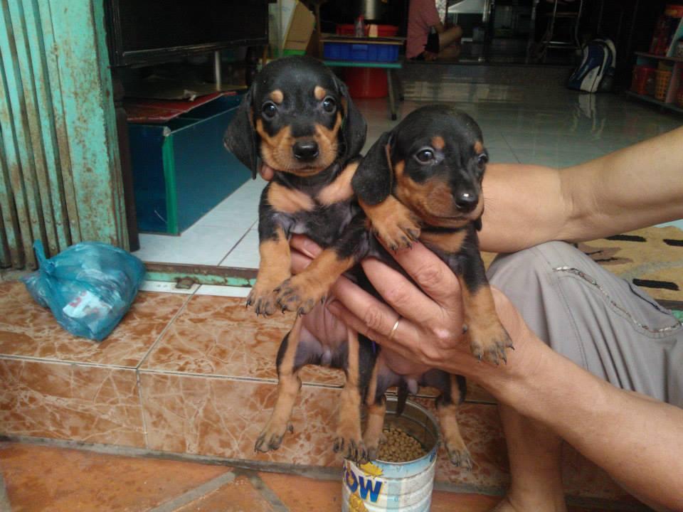 Xuất chuồng đàn Dachshund (chó lạp xưởng, chó xúc xích) [30/04/2016] 6