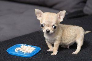 Chú chó chihuahua mini bé nhất thế giới