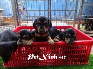Xuất chuồng đàn Dachshund (chó lạp xưởng, chó xúc xích) [30/04/2016] 9