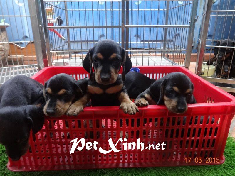 Xuất chuồng đàn Dachshund (chó lạp xưởng, chó xúc xích) [30/04/2016] 1