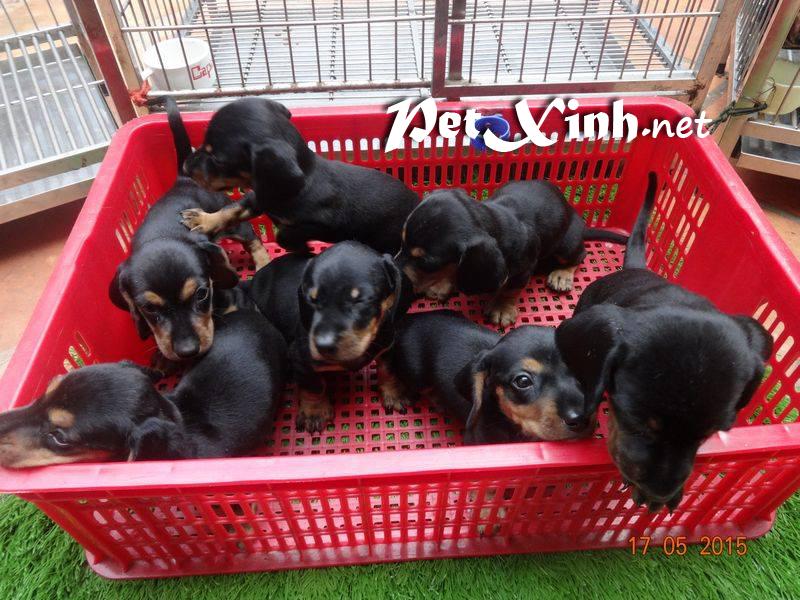 Các bé chó dachshund (lạp xưởng) đã trở lại và lợi hại hơn xưa [18/06/2015] 1