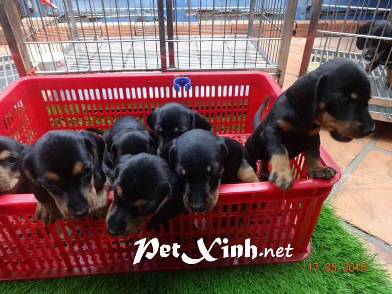 Xuất chuồng đàn Dachshund (chó lạp xưởng, chó xúc xích) [30/04/2016] 4