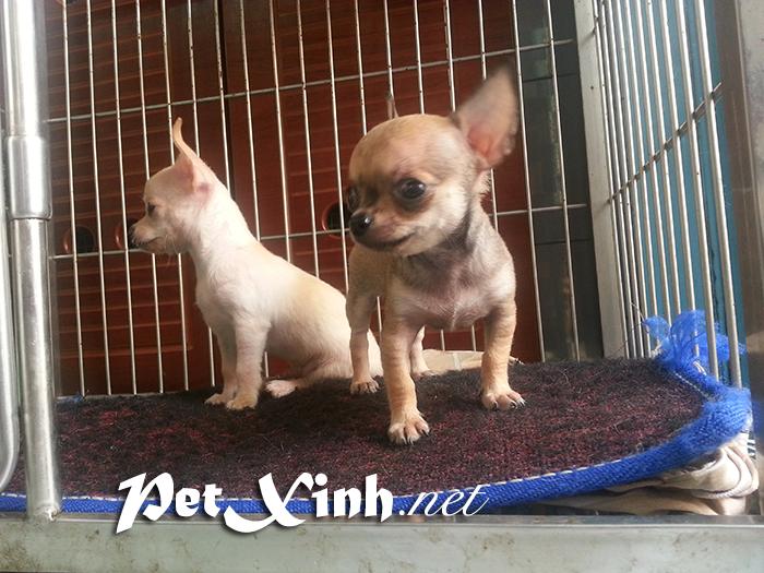 Chó chihuahua mini giá rẻ Gò Vấp TP Hồ Chí Minh