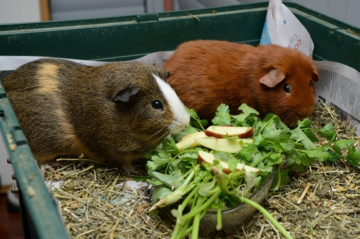 Thức ăn chủ yếu của các bé bọ ú lông xù Guinea Pig là rau củ tươi