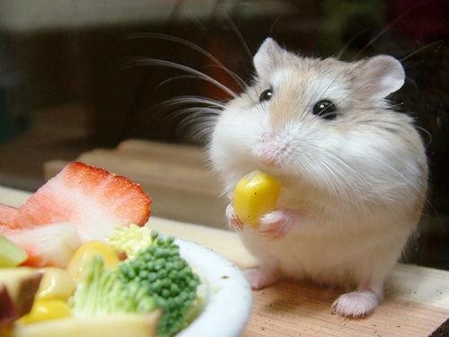 hamster petxinh giá rẻ gò vấp tphcm