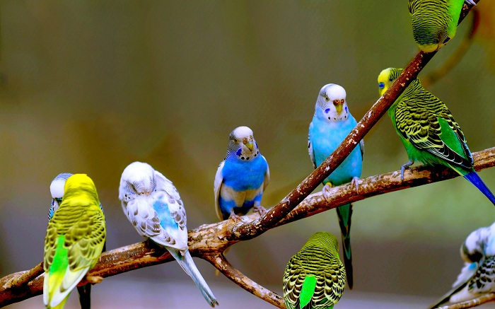 Chim yến phụng có rất nhiều màu sắc đa dạng