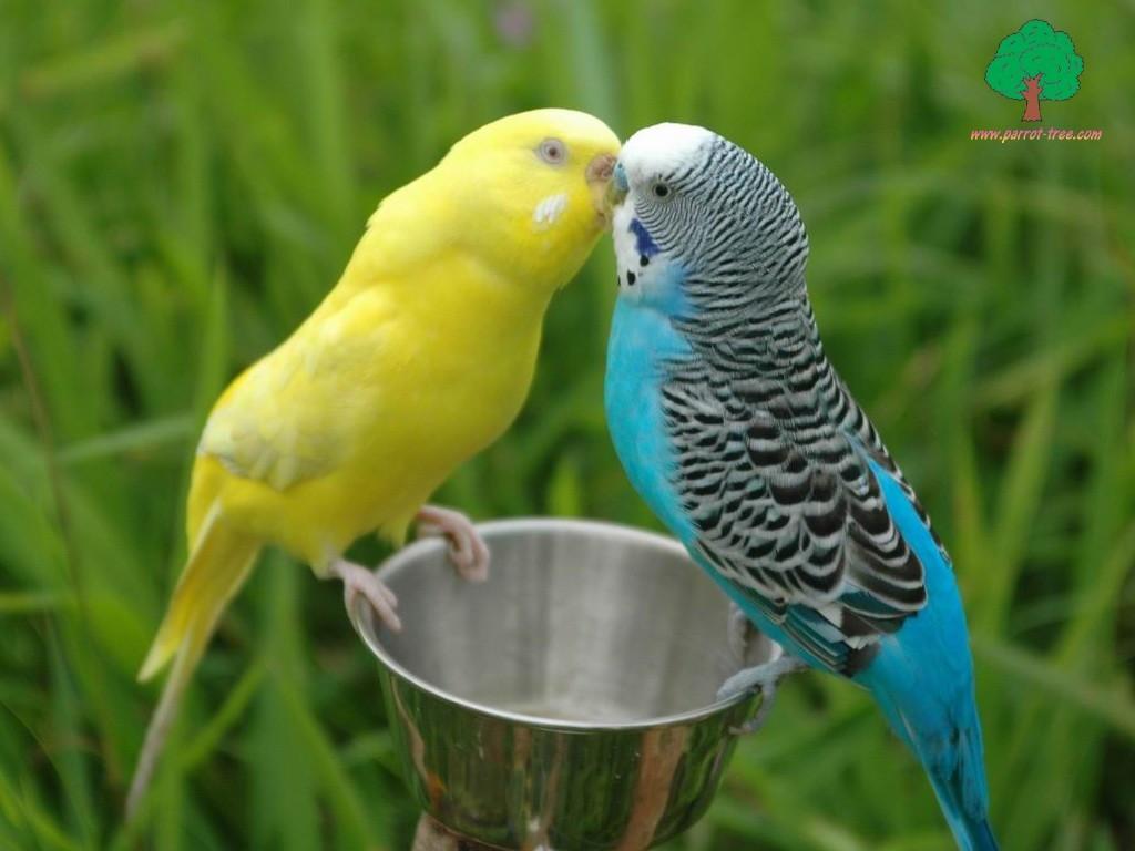 Parrot_love_10639