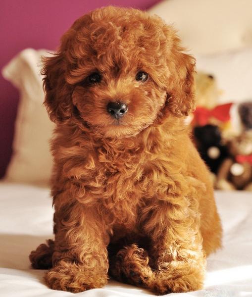 Chó Poodle Toy TP.HCM Gò Vấp