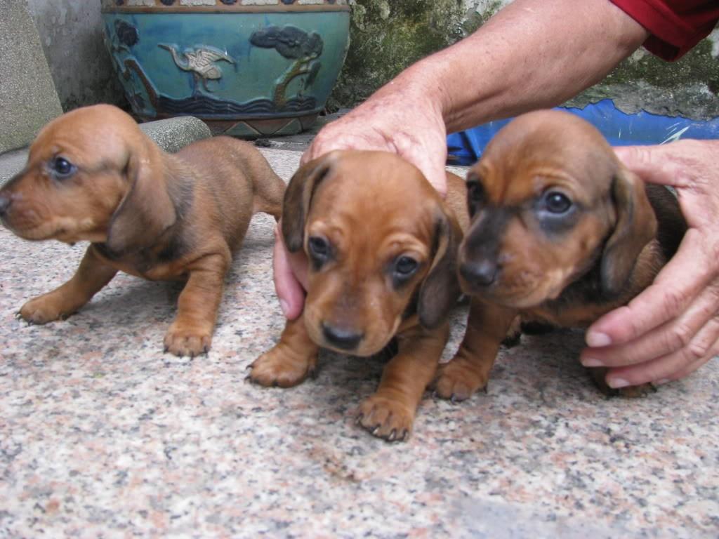 Xuất chuồng đàn Dachshund (chó lạp xưởng, chó xúc xích) [30/04/2016] 3