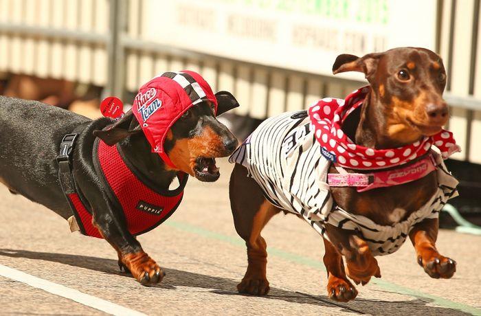 đua chó lạp xưởng dachshund ở Melbourne