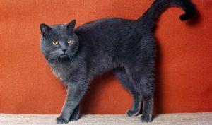 mèo anh lông ngắn gray black
