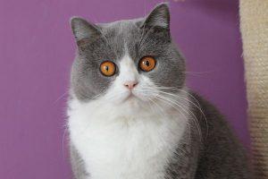 mèo anh lông ngắn bicolor