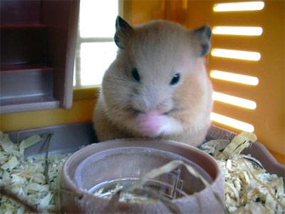 Hamster khi mang thai sẽ bắt đầu làm tổ và giấu thức ăn nhiều hơn