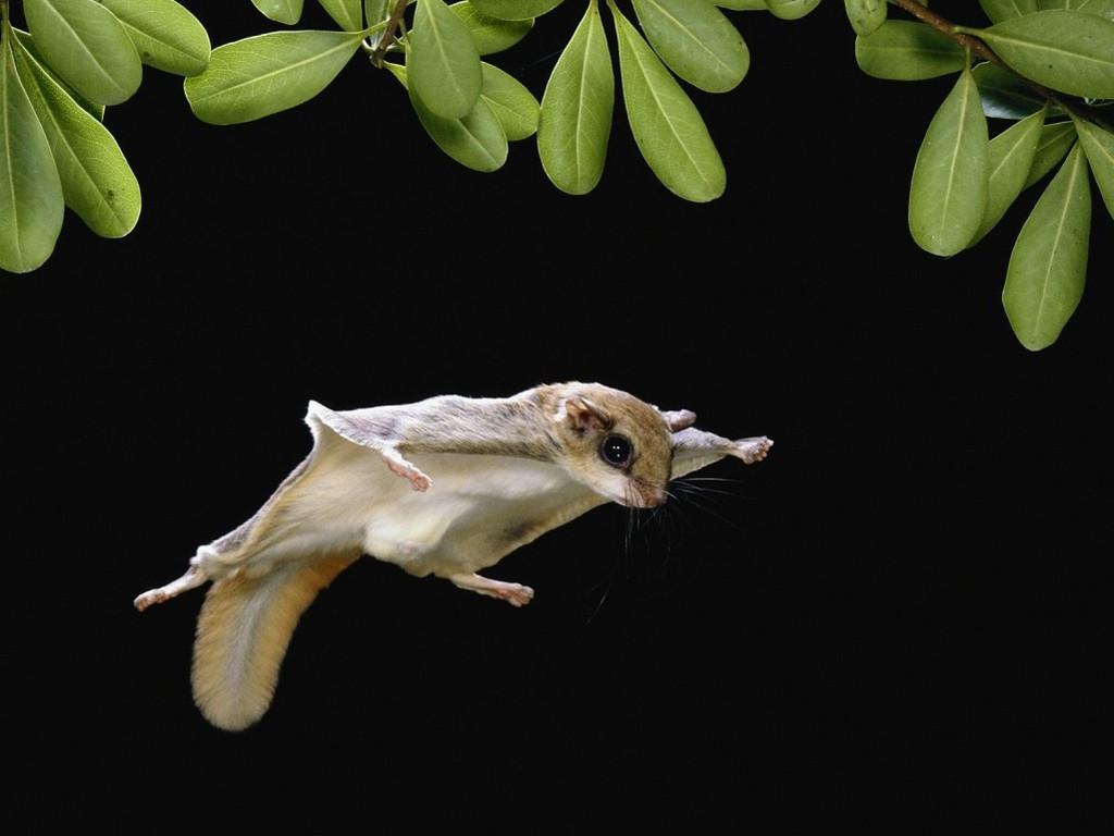 Sóc bay Úc có thể lướt như tàu lượn từ 60-100m trên không trung
