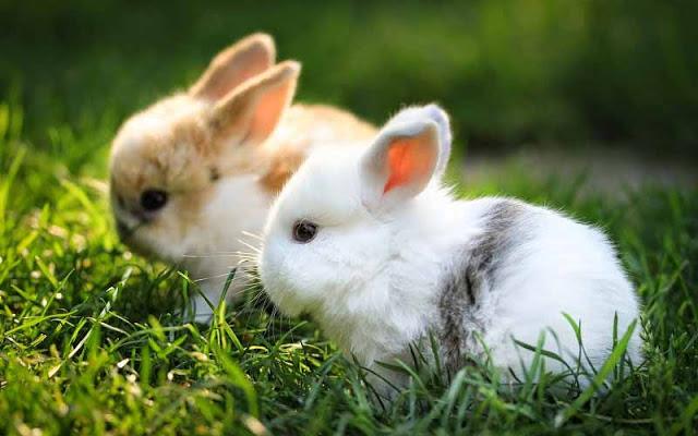 Các bệnh thường gặp ở Thỏ Kiểng, phòng và trị bệnh như thế nào? 1