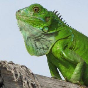 iguana green kỳ nhông rồng nam mỹ xanh